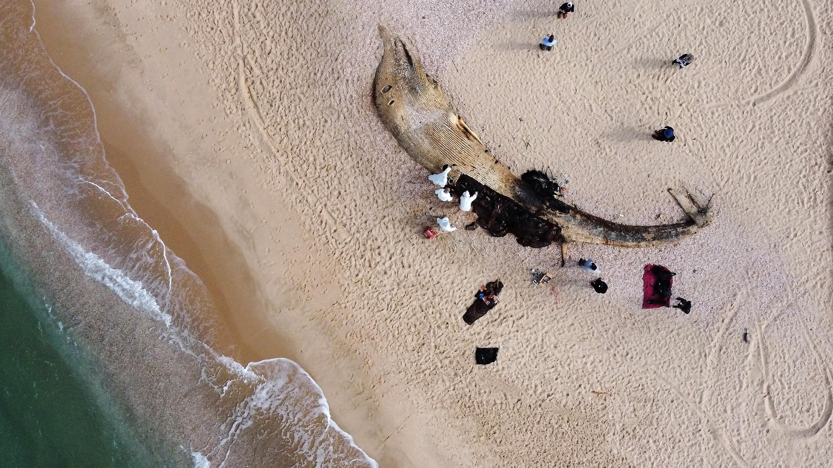 Des scientifiques examinent le corps d'un rorqual commun mort qui s'est échoué de la mer Méditerranée le 21 février à Nitzanim, en Israël.