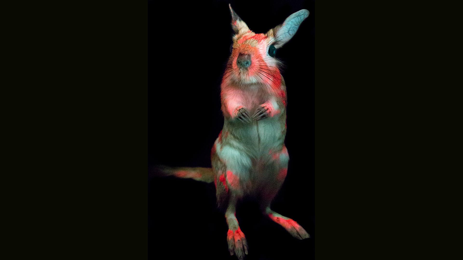 Les composés de la fourrure des springhares fluorescent dans les régions jaune, orange ou rouge du spectre visible, générant une lueur rose vif.