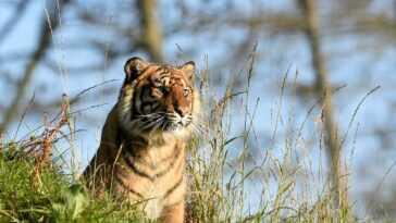 Les Tigres Indiens Perdant Leur Riche Variation Génétique, La Perte