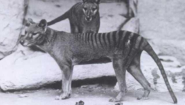 Un Australien Affirme Que Les Tigres De Tasmanie Sont Vivants;