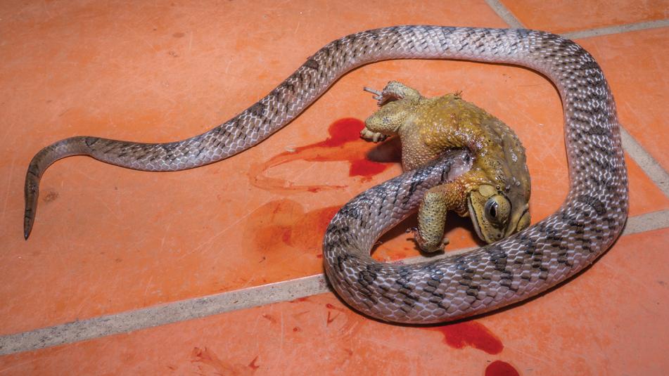 Un serpent kukri ocellé du Vietnam a d'abord percé ce crapaud commun asiatique venimeux, a enfoui sa tête profondément dans l'abdomen de l'amphibien, puis a avalé le crapaud entier.
