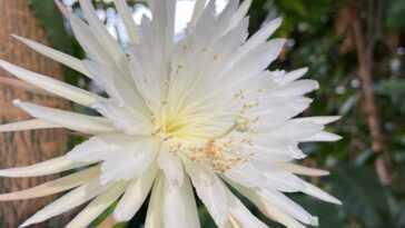 Le Premier Time Lapse De La Floraison Rare Des Fleurs De
