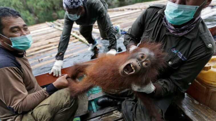 Des Orangs Outans Indonésiens Ramenés Par Avion Dans La Nature Après