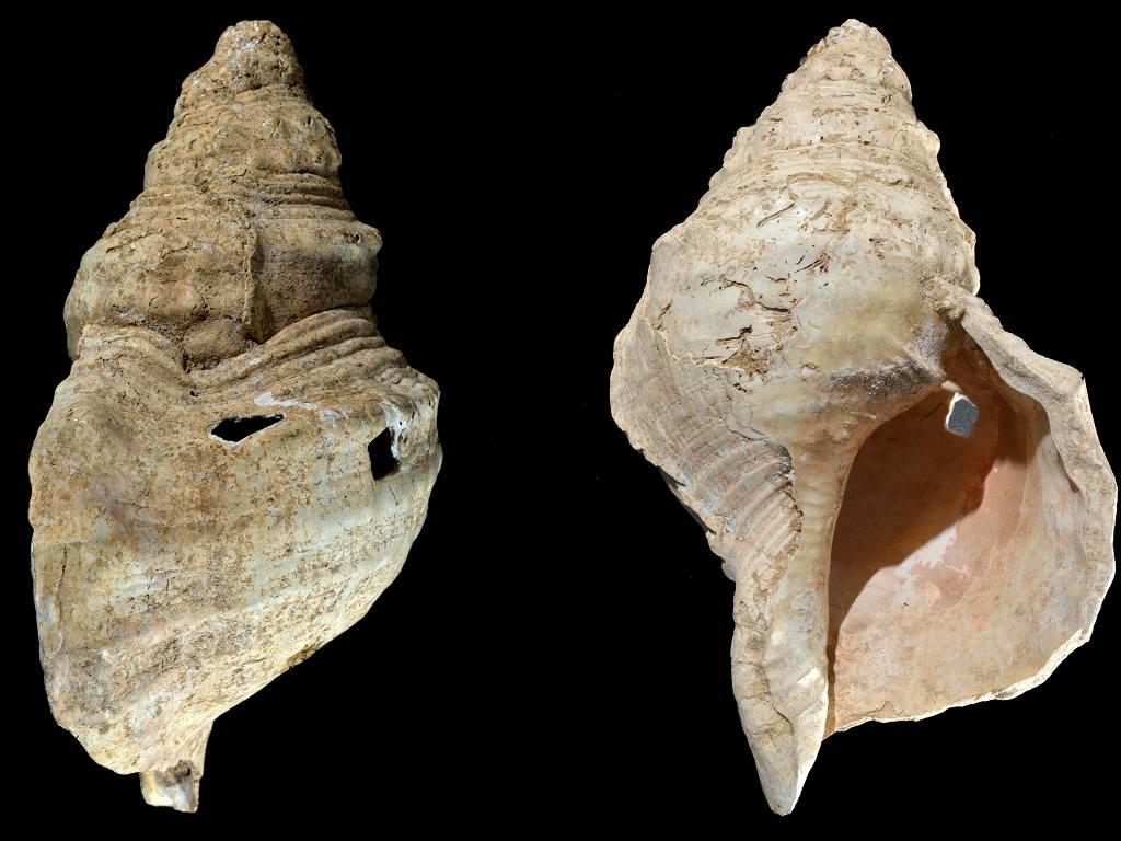 La plus ancienne corne de coquille trouvée dans une grotte en 1931 joue ses chansons aussi claires que la mer