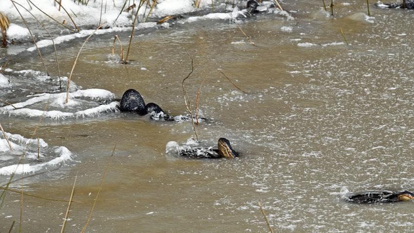 Les alligators 'snorkeling' sortent leur museau dans la zone de gestion de la faune Red Slough de l'Oklahoma.