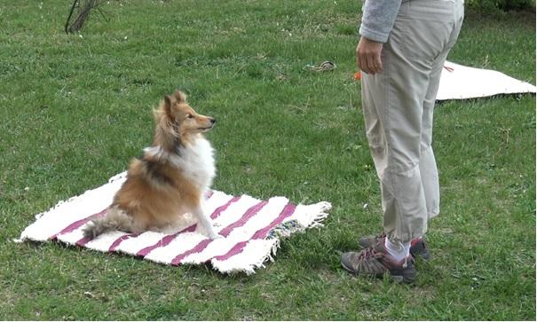 Un Sheltie assis sur un tapis avec un jouet attaché, en attente d'une commande.