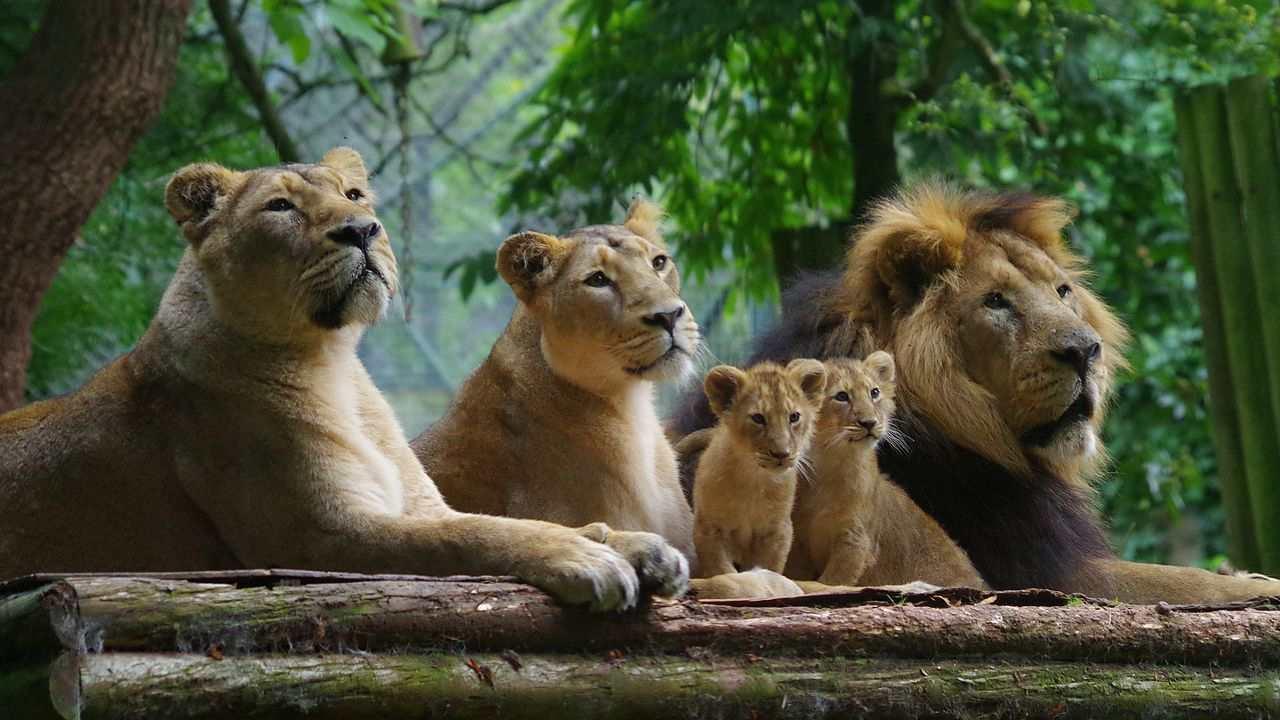 Les lions Gir en voie de disparition conquièrent une menace virale, les experts conseillent de déplacer certaines fiertés vers d'autres parcs