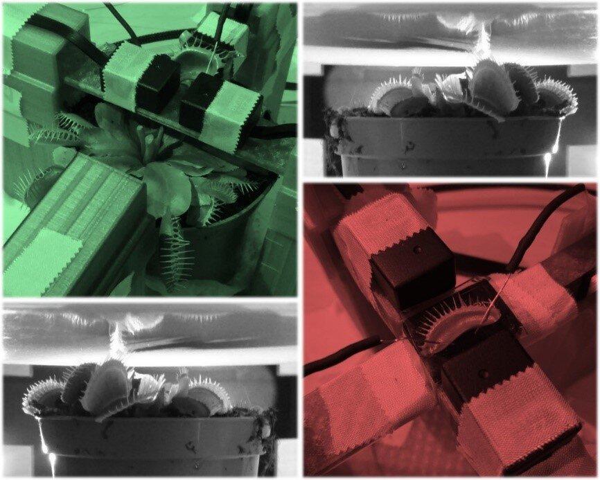 Les chercheurs ont mesuré le champ magnétique autour des pièges à mouches de Vénus à l'aide de magnétomètres atomiques.