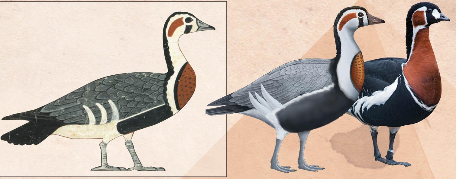 L'oie ancienne dans le tableau (à gauche) ressemble le plus à une oie à poitrine rousse (Branta ruficollis) mais présente des différences majeures comme on peut le voir dans la comparaison d'une version reconstruite (au milieu) avec l'oie à poitrine rousse (à droite).