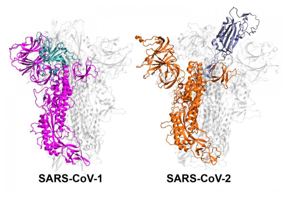 Une illustration de la protéine de pointe pour le SRAS-CoV-1 et le SRAS-CoV-2.  Une nouvelle étude révèle que le SRAS-CoV-2 est plus stable chez les