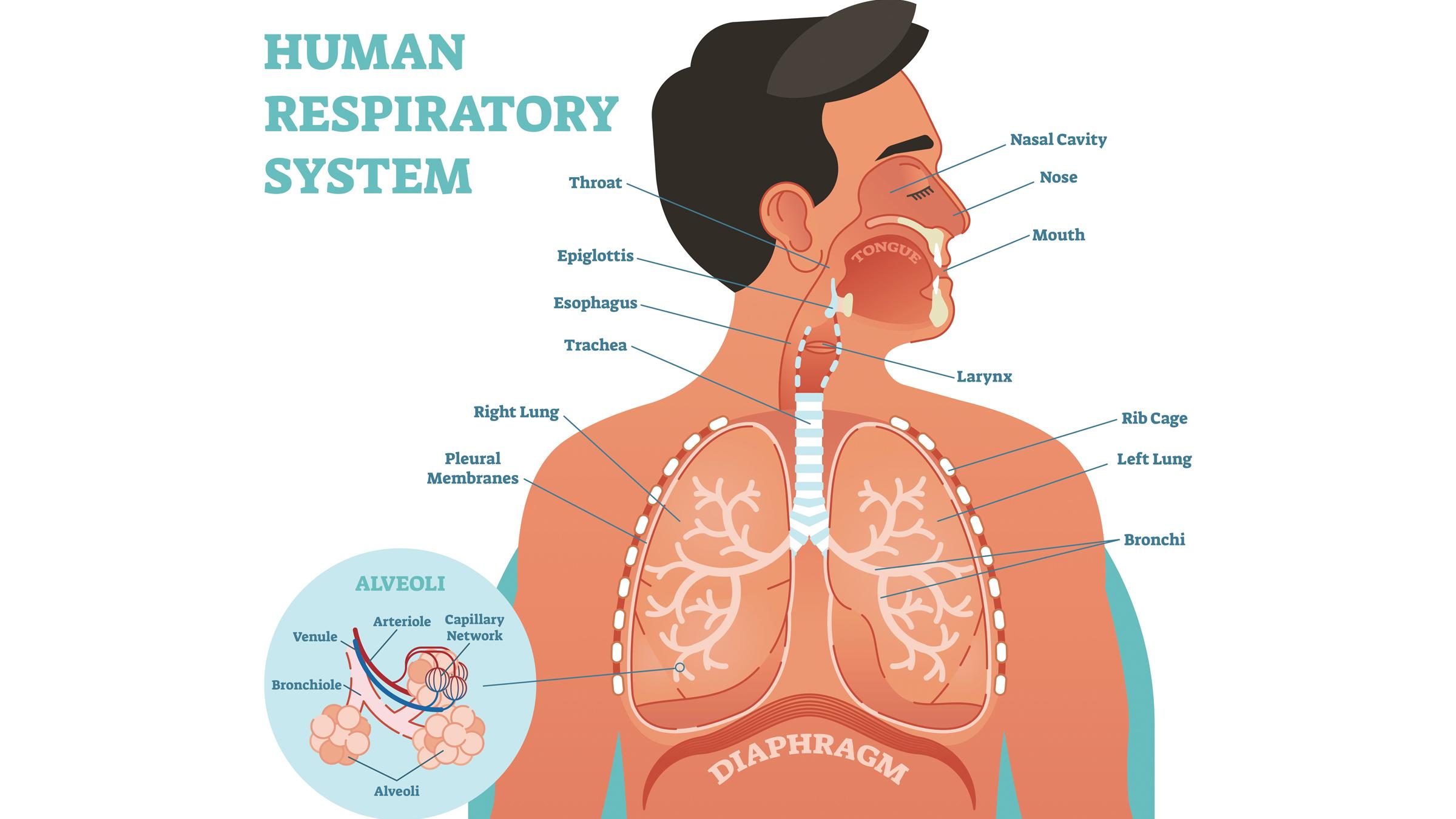 Schéma du système respiratoire humain