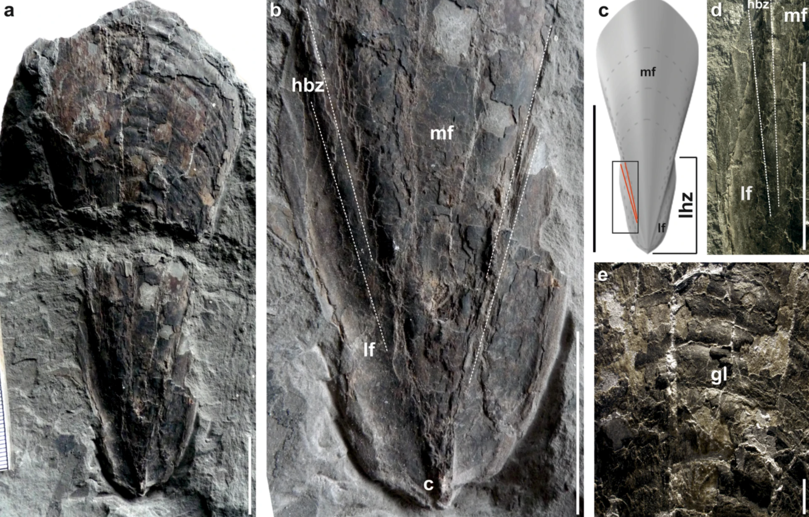 Un calmar fossile vieux de 30 millions d'années découvert à l'extérieur de Budapest.