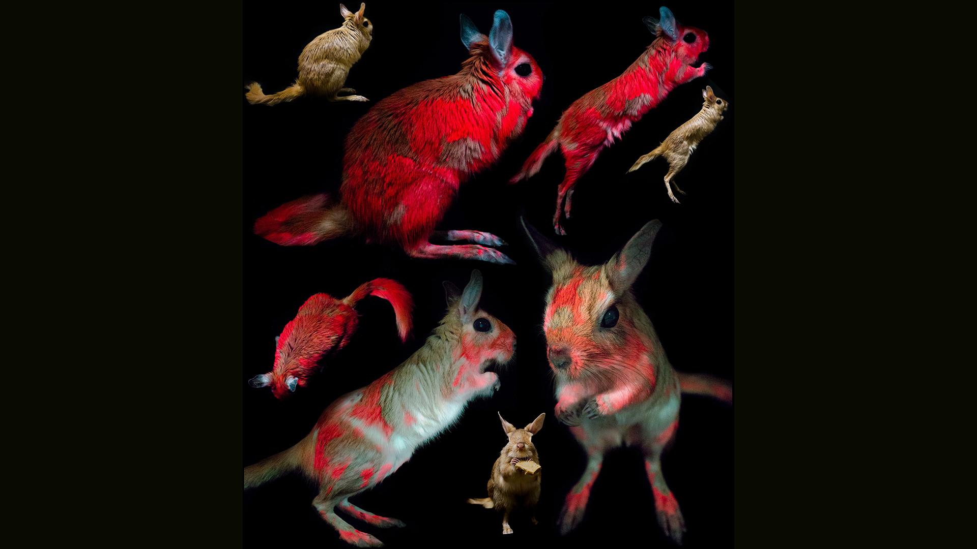 Les scientifiques ont identifié la fluorescence dans les springhares des spécimens de musée et des animaux captifs.
