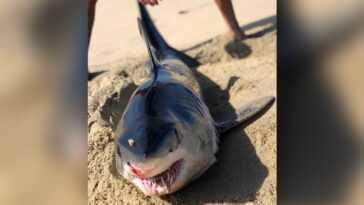Shark Se Fait Poignarder à La Tête Et échoue à