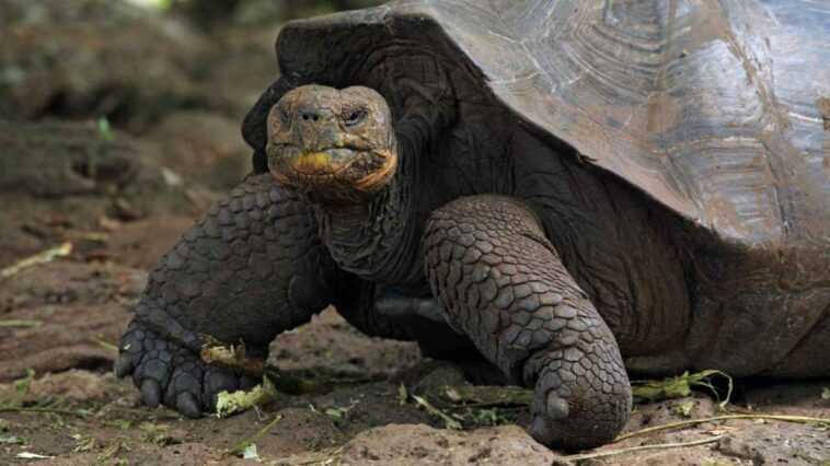 L'île Des Galapagos Reçoit 36 tortues Géantes En Voie De