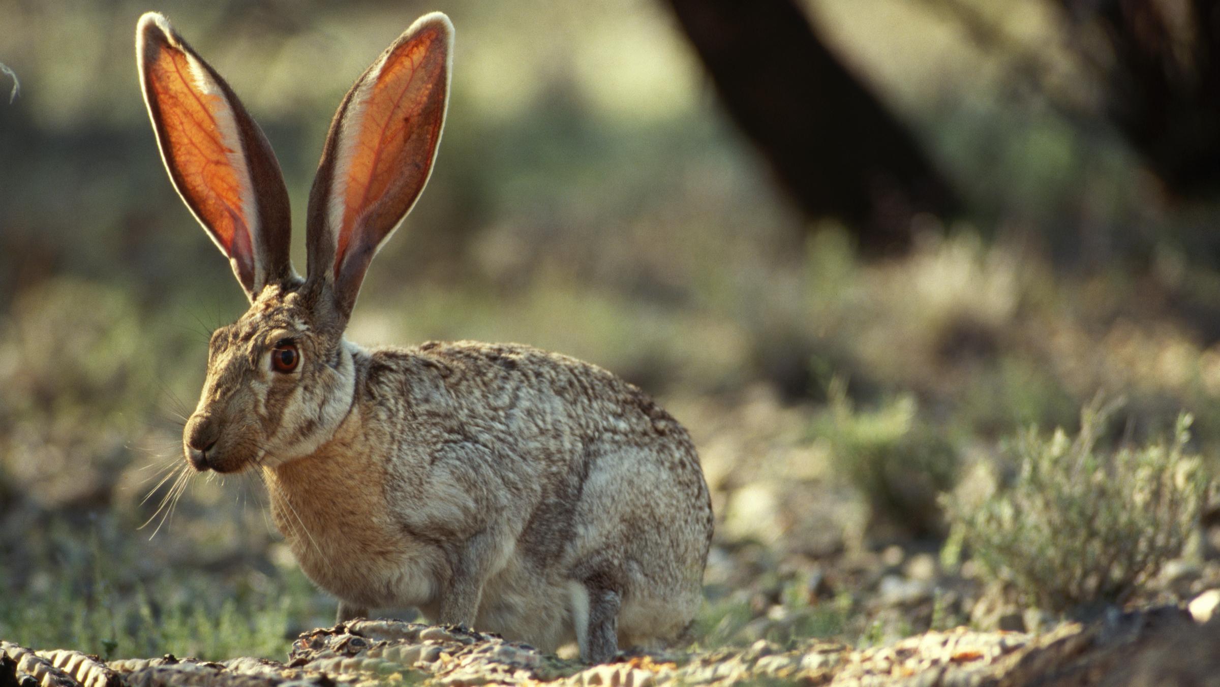 Certaines espèces de lièvres - qui vivent dans l'ouest des États-Unis, au Canada et au Mexique - ont des oreilles jusqu'à 7 pouces (18 cm) de long, soit un tiers de la longueur de leur corps.