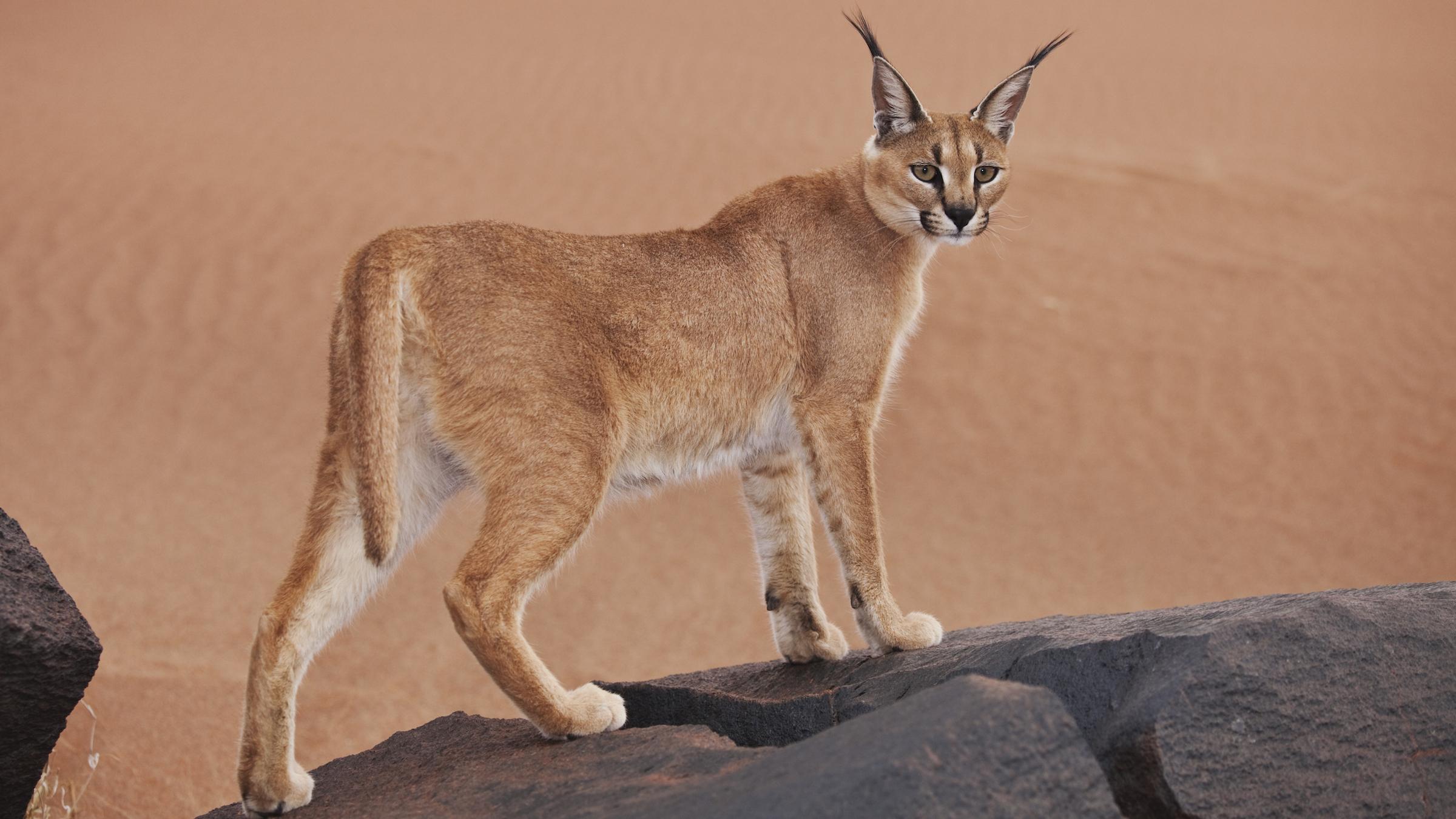 Ce petit chat sauvage - trouvé en Afrique, en Asie et en Inde - est connu pour ses oreilles noires tuftées, qui lui donnent le surnom de lynx du désert.