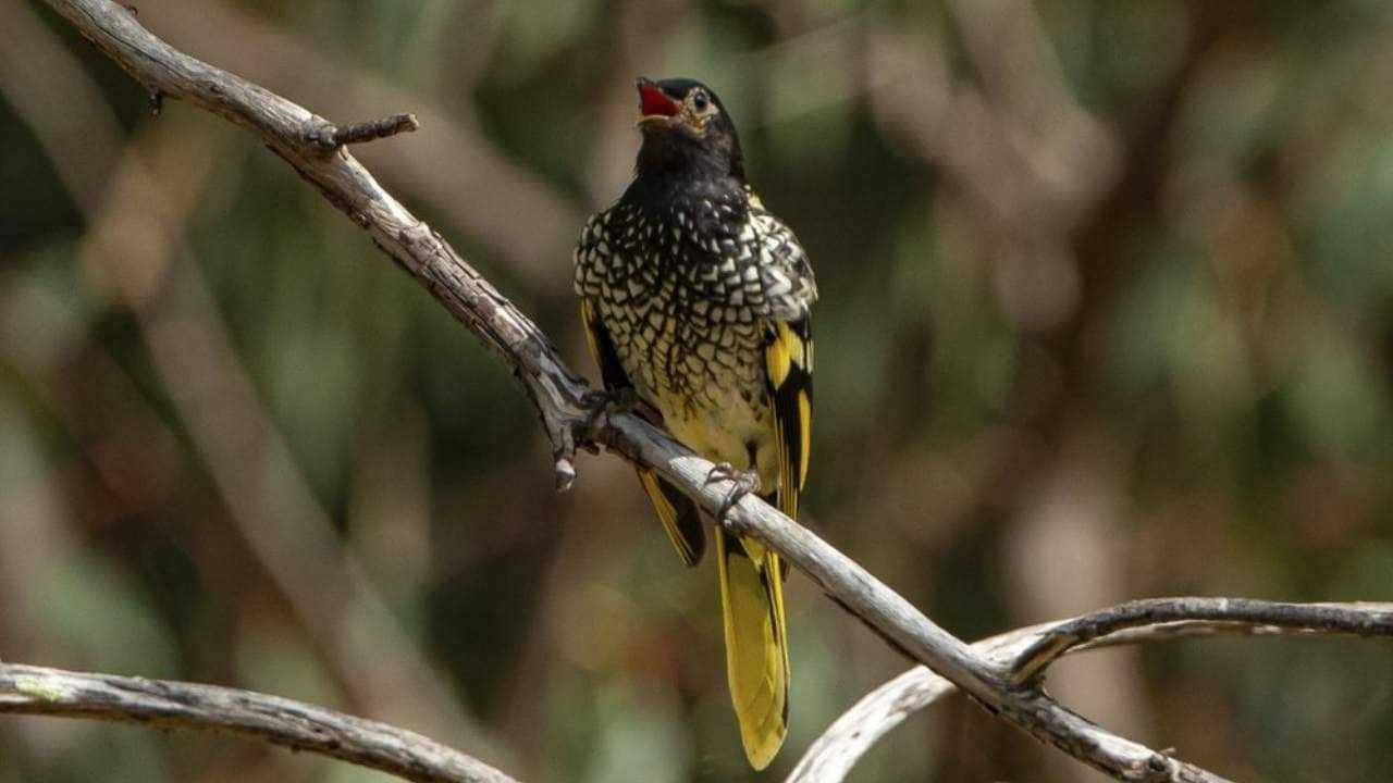 Les Oiseaux En Voie De Disparition Qui Perdent Leurs Chants