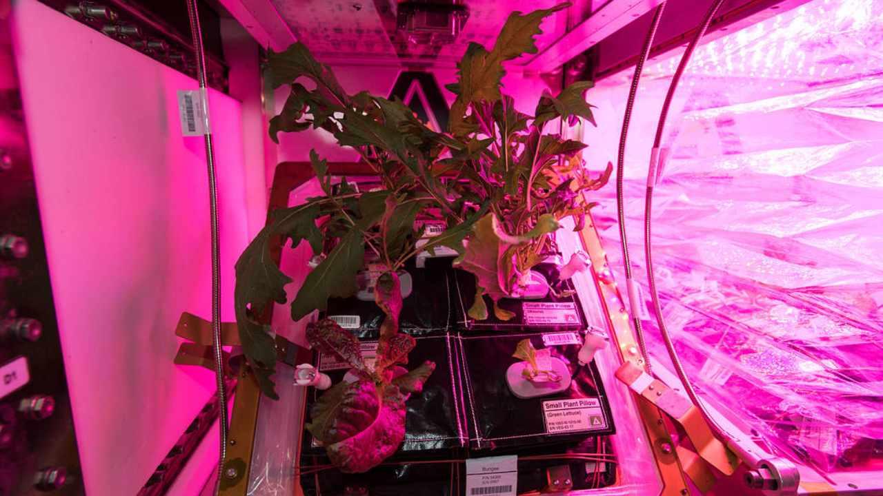 L'équipage à bord de la station spatiale cultive de nombreux lots de légumes verts mélangés (y compris du mizuna, de la laitue romaine rouge et du chou tokyo bekana).  Il existe plusieurs installations végétariennes fonctionnant simultanément à tout moment.  Image: NASA