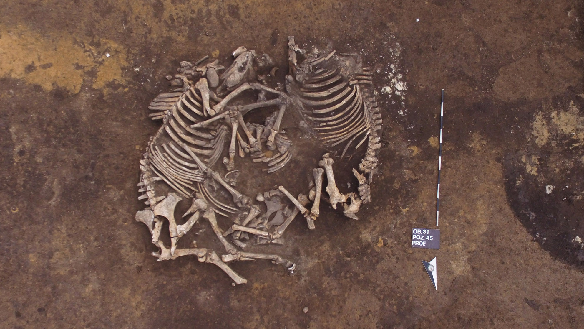 Ces deux chevaux ont été enterrés côte à côte dans une tombe sur le site qui date de l'âge du bronze moyen, des milliers d'années après le cimetière néolithique.