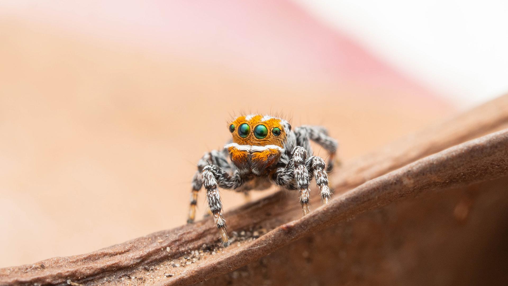 Maratus nemo est la 92e espèce d'araignée paon décrite en Australie.  La plupart d'entre eux ont été identifiés au cours de la dernière décennie.