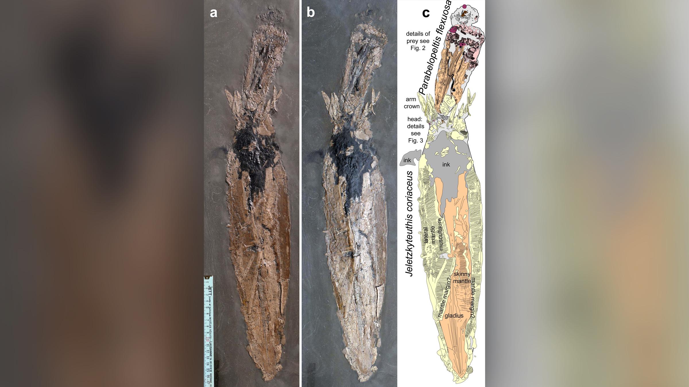 Photos (A et B) du fossile sous différentes lumières avec une illustration (C) des deux vampyromorphes du Jurassique précoce.