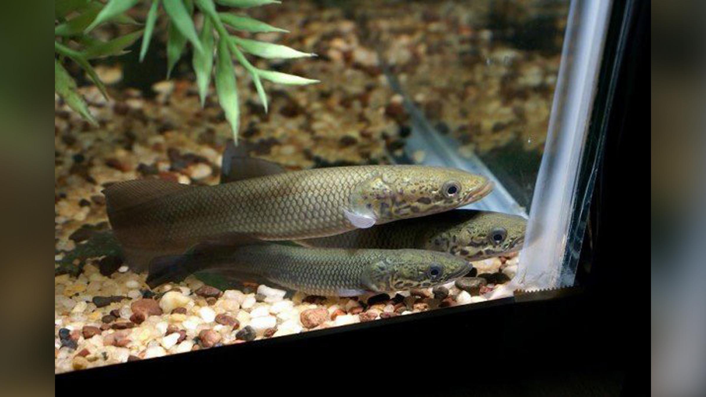 Arapaima, en particulier les bébés arapaima comme ceux présentés ici, sont populaires dans les aquariums privés.