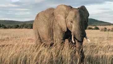 Les éléphants D'afrique Arrivent Sur La Liste Rouge De L'uicn