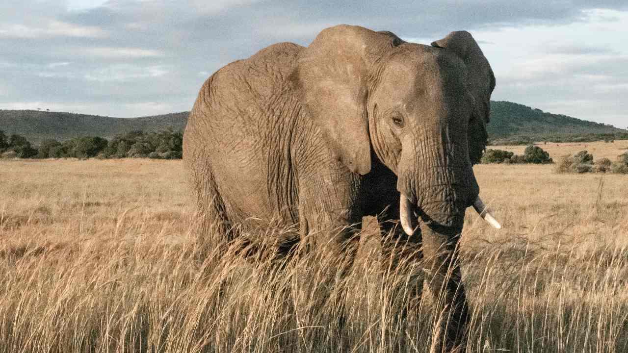 Les éléphants d'Afrique arrivent sur la liste rouge de l'UICN en raison du braconnage et de la diminution des populations