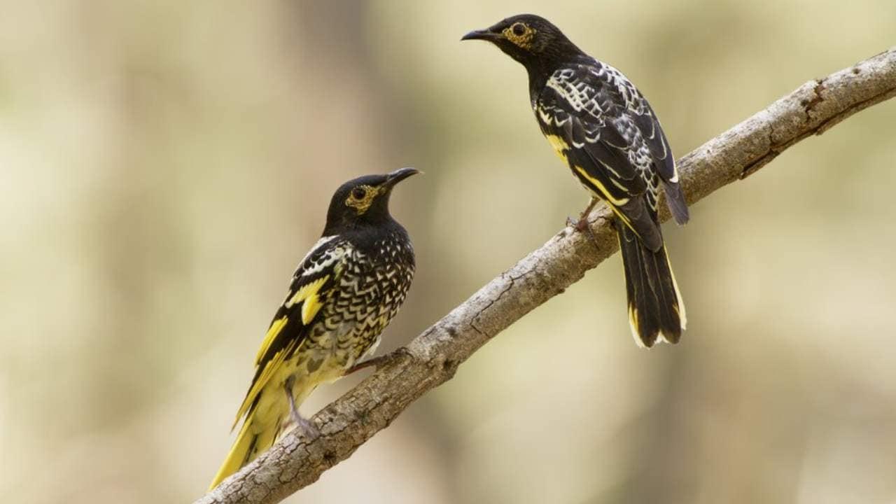 Les oiseaux en voie de disparition qui perdent leurs chants rendent difficile la recherche de partenaires et la formation de leurs petits, selon les experts