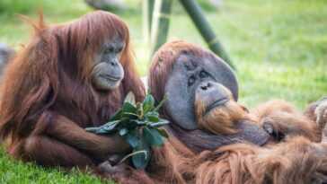 Les Orangs Outans Et Les Bonobos Du Zoo Américain Reçoivent Le