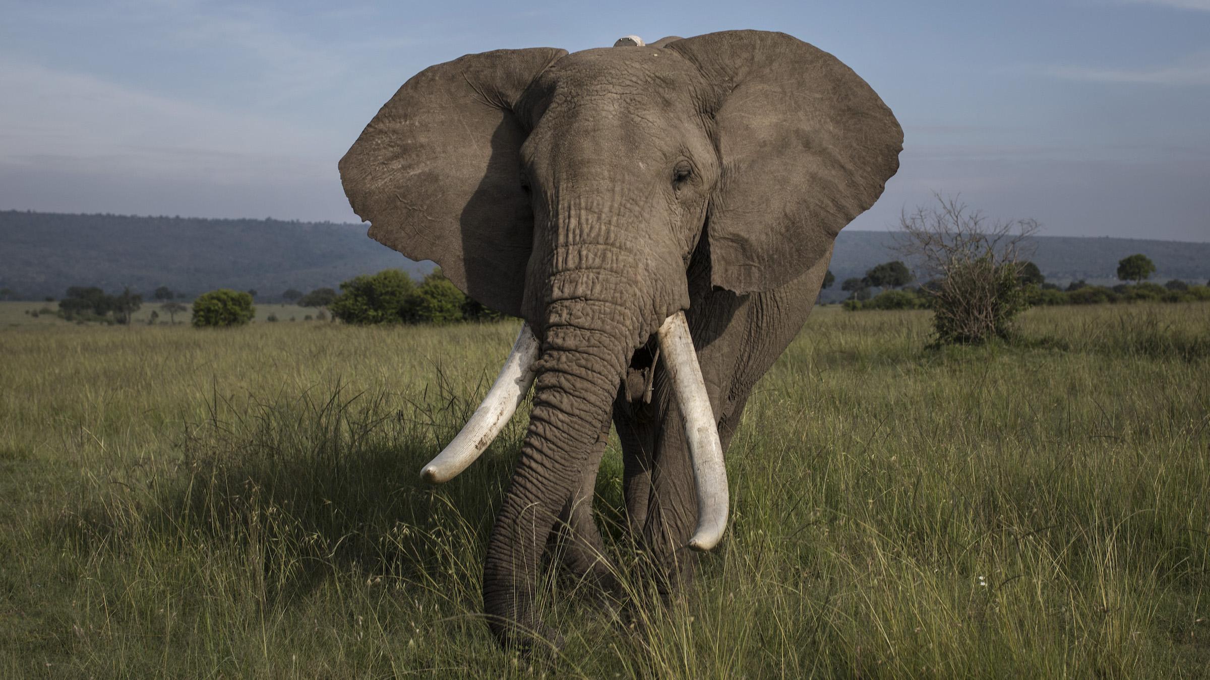 L'éléphant d'Afrique a les plus grandes oreilles de tous les animaux, mais les oreilles, qui peuvent mesurer près de 1,2 mètre de long, ne font que 17% de la longueur du corps de l'animal.
