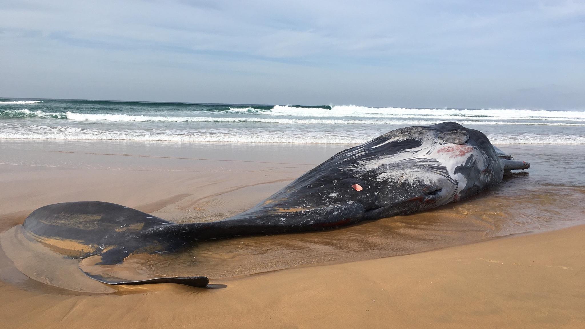 Les cachalots, les plus grandes baleines à dents de la planète, mangent des calmars, des requins, des patins et des poissons qui vivent dans les eaux profondes.