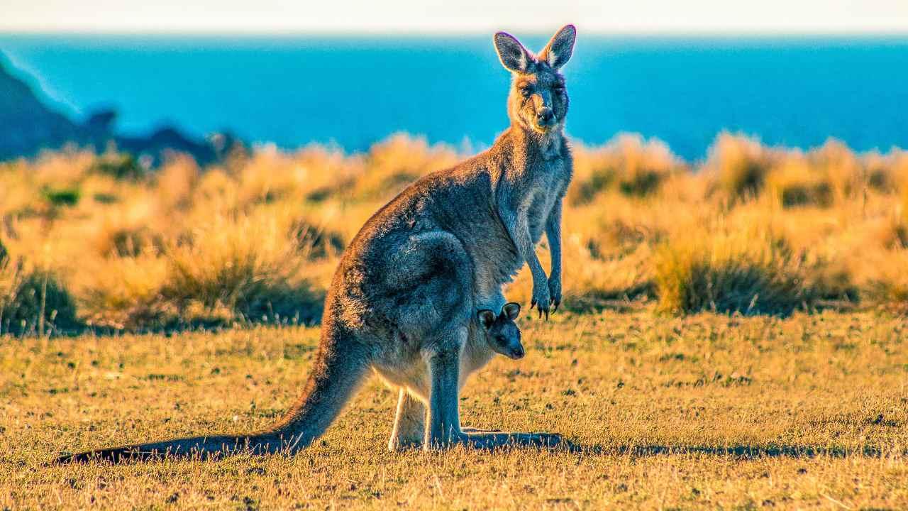 Un Fossile De Kangourou Grimpeur éteint En Australie Vivait Dans