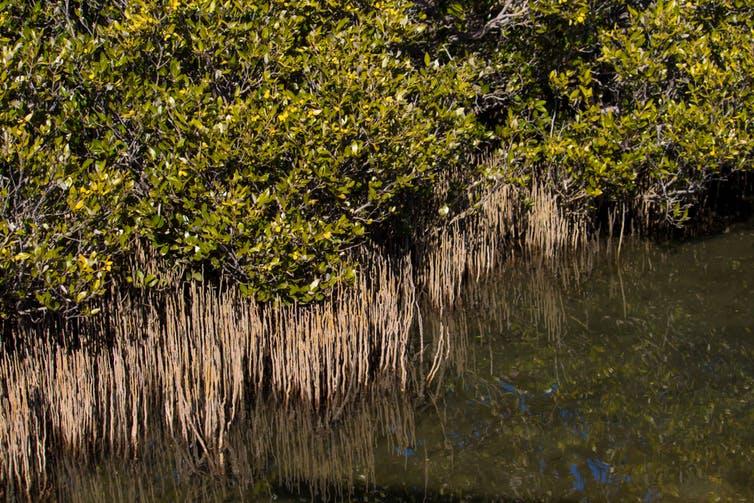 La prochaine étape de notre recherche est de comprendre comment le changement climatique affecte les cycles de vie des mangroves.