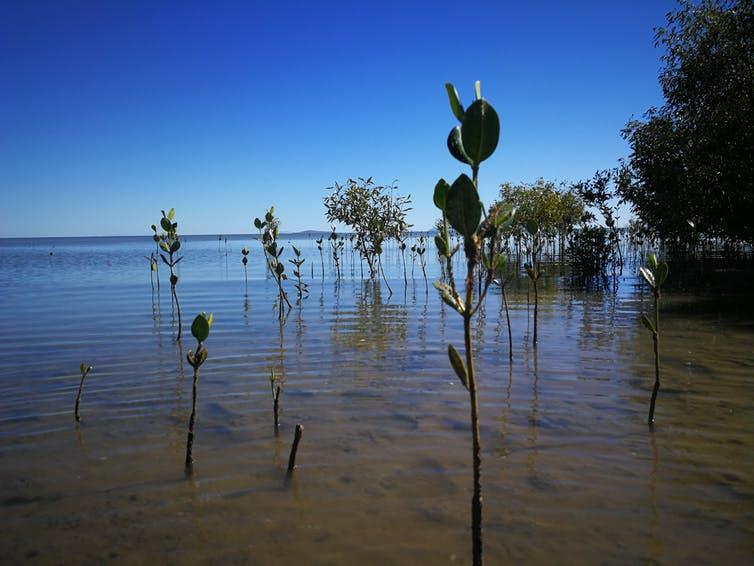 Les images satellites des forêts de mangroves révèlent que toutes les mangroves n'ont pas les mêmes cycles de vie.  Ici, nous voyons des mangroves à différents stades de croissance.