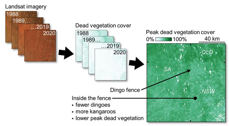 Les différences de couverture végétale à travers la clôture de dingo deviennent plus apparentes après que les images satellites ont été converties en couverture végétale morte et analysées au fil du temps.