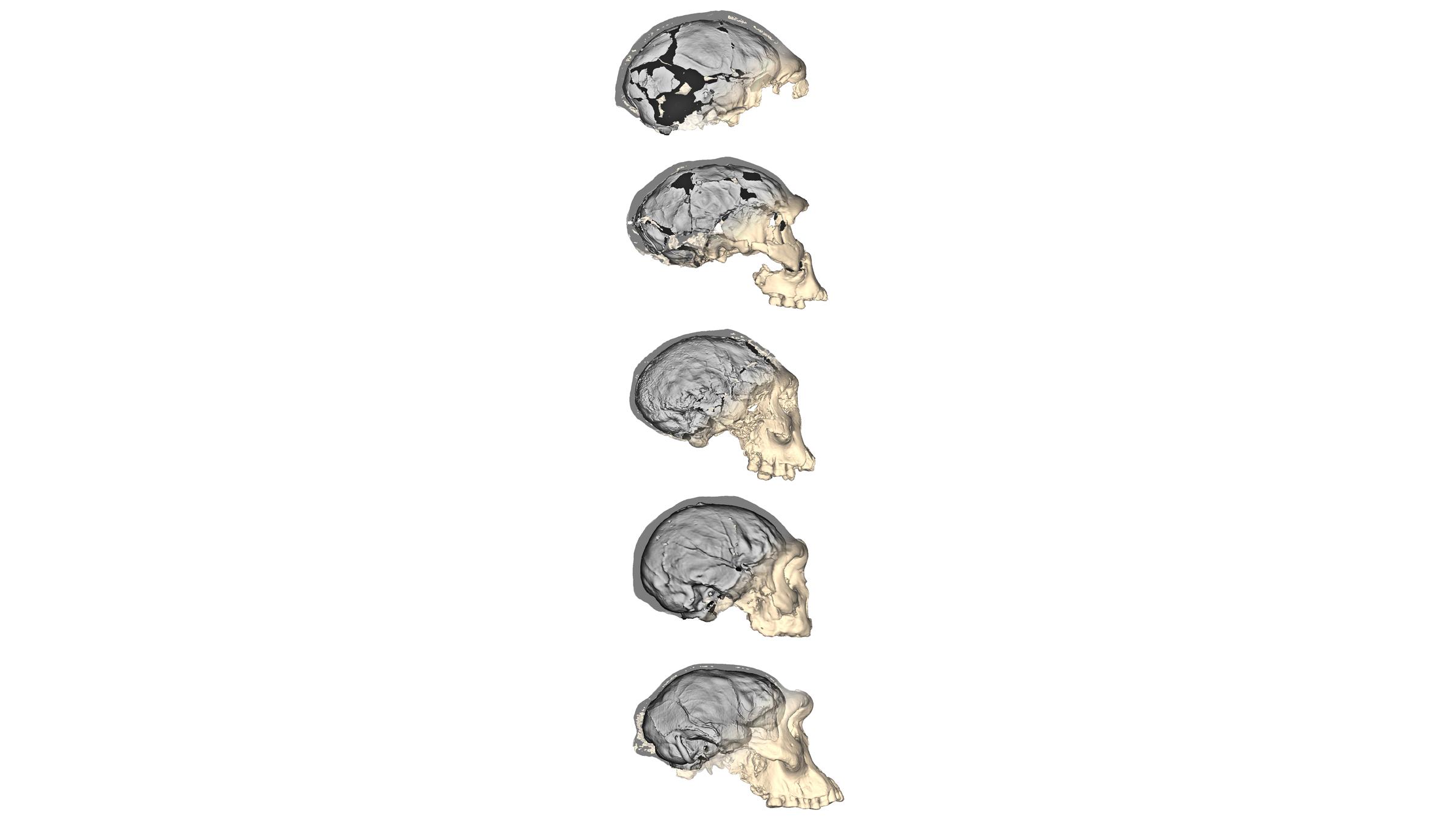 Les progrès de la technologie d'imagerie ont permis aux chercheurs de créer des reconstructions 3D détaillées des cinq crânes d'Homo erectus de Dmanisi, en Géorgie.