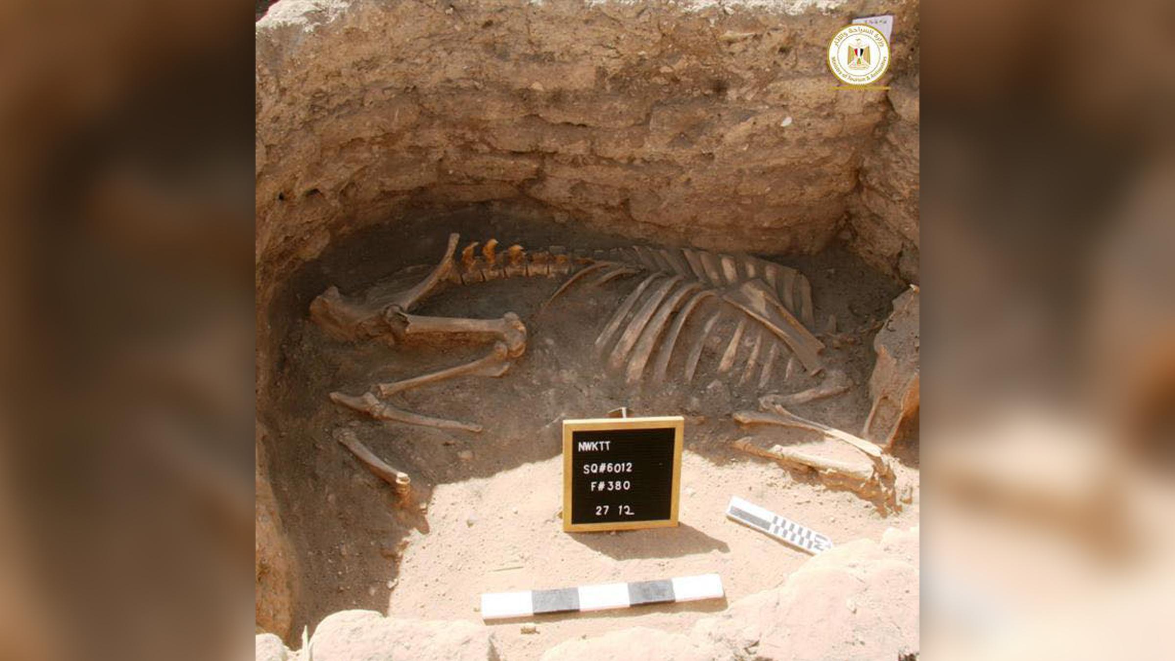 On ne sait pas pourquoi les restes d'une vache ou d'un taureau ont été enterrés dans la cité dorée perdue.