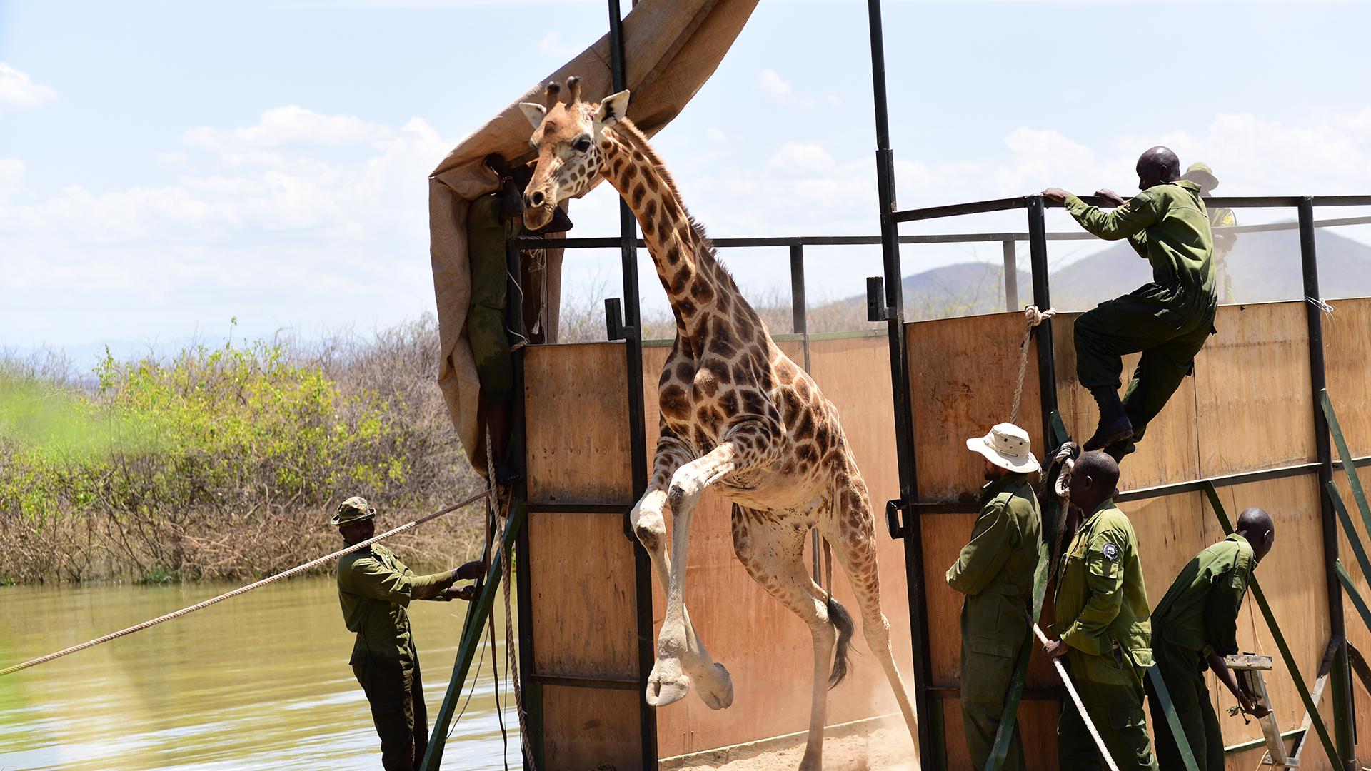 Une jeune girafe nommée