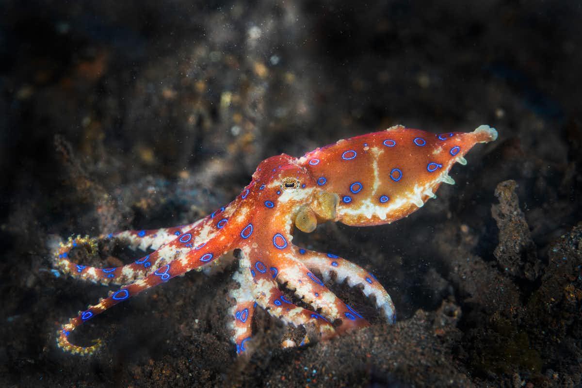 Une pieuvre à anneaux bleus, une espèce très venimeuse trouvée dans les mares de marée et les récifs coralliens.