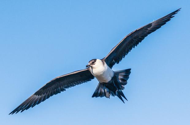 Il y a un oiseau dans la vraie vie nommé Jaeger comme Eren (Photo: britannique)
