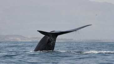 La Cabosse De Baleine Rompt Le Schéma De Migration, Les