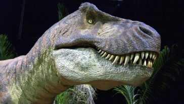 """Le """"Tyrannosaurus Rex"""" marchait beaucoup plus lentement qu'on ne le pensait: presque plus qu'un humain, selon cette étude"""