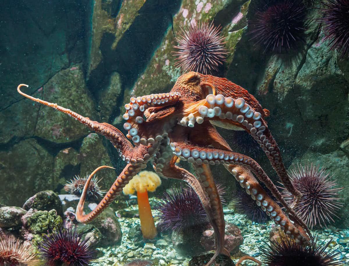 La pieuvre géante du Pacifique peut atteindre près de cinq mètres de diamètre.