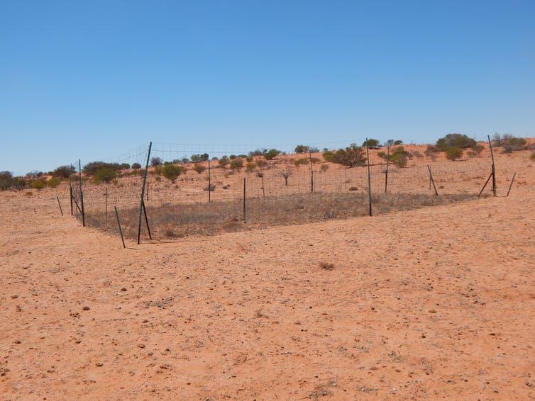 L'une des parcelles clôturées à l'exclusion des kangourous dans le parc national de Sturt, dans l'ouest de la Nouvelle-Galles du Sud, montrant une nette différence de couverture végétale en raison de la pression du pâturage où les dingos sont rares.