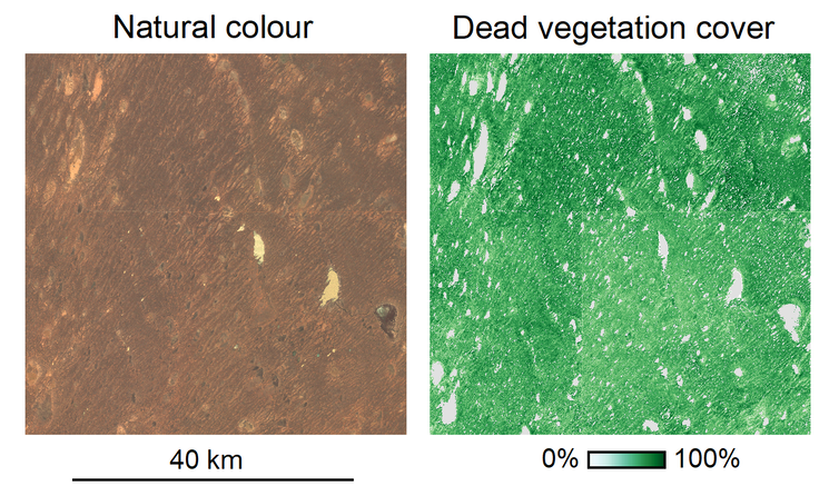 Une image Landsat en couleur naturelle de l'hiver 2011 après un événement pluvieux important (à gauche) ne montre pas la clôture de dingo, bien qu'elle le fasse lorsqu'elle est convertie en couverture végétale morte (à droite).