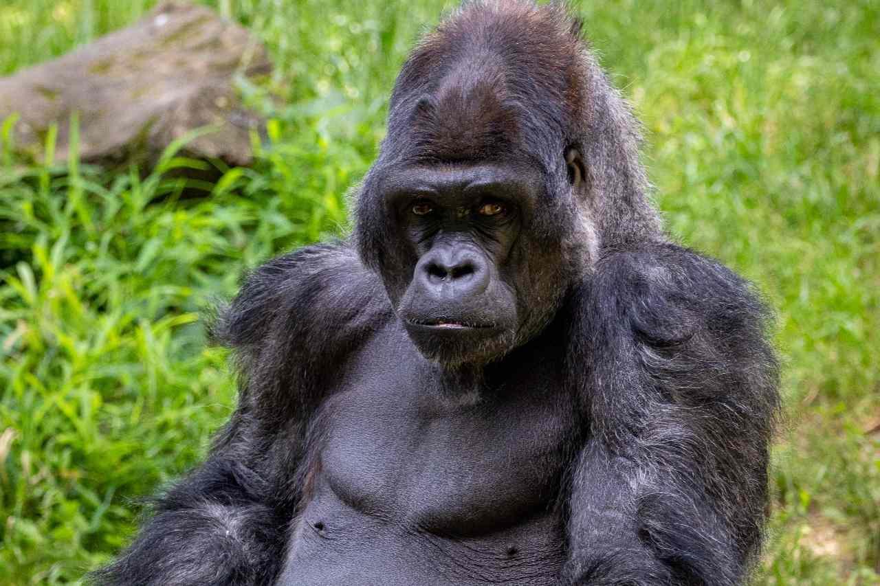 Le Battement De Poitrine Des Gorilles Permet Aux Femelles, Les