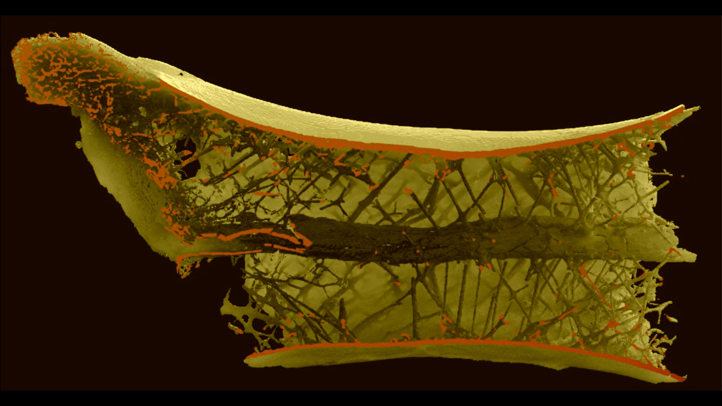 Cette coupe transversale de la vertèbre du ptérosaure montre la disposition en forme de rayon en son sein.