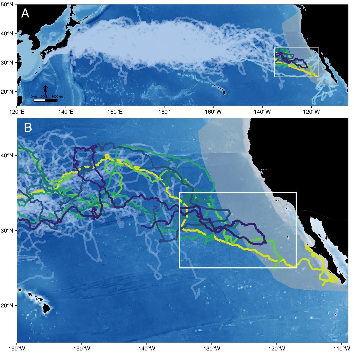 Les lignes en zig-zag montrent les chemins de migration de 231 caouannes, dont six entrent dans le grand écosystème marin actuel de Californie